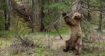 Des ours qui se grattent le dos: une vidéo hilarante avec une musique PARFAITE