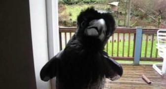 Curiose abilità dei corvi: sapevate che sono in grado di fare QUESTO?