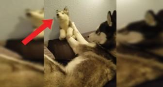 Il compagno di giochi non dà segni vita: questo Husky non la prende bene!