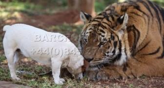 Tigre, Perro y la Amistad