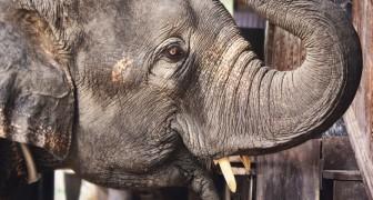 Sempre più elefanti nascono senza zanne: ecco come si EVOLVONO per sopravvivere alla caccia