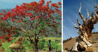 15 tra i più begli alberi che Madre Natura ci ha regalato