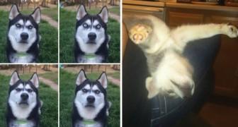 Simpaticissimi Husky: ecco le fotografie più divertenti in circolazione