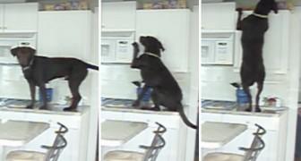 Mette una telecamera in cucina e scopre... che il suo cane è un ninja!