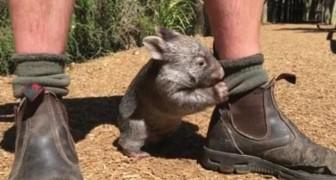 Hij heeft een wombat van de straat gered: nu laat hij hem nooit meer los!