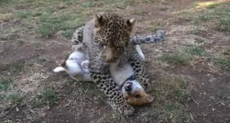 Een luipaard jaagt op een hond: het lijkt op een hinderlaag, maar niets is minder waar!