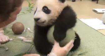 Nessuno tocchi i suoi giochi: questo cucciolo di panda non si lascia sfuggire la palla!