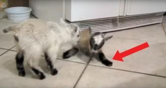 Le caprette domestiche giocano a rincorrersi: il pavimento scivoloso rende tutto più divertente!