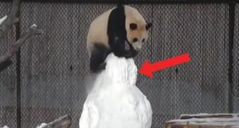La lotta più simpatica che abbiate mai visto: quella tra un panda gigante e un pupazzo di neve!