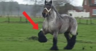 Dit paard is enorm, maar als hij in galop gaat is hij één en al elegantie!