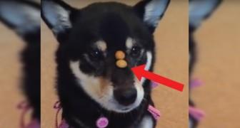 Il croccantino passa dal muso alla bocca in un attimo: la velocità del cane è da record