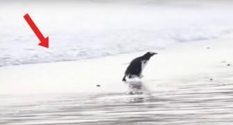Un pinguino che ha paura dell'acqua? In questo caso... Pare proprio di sì!