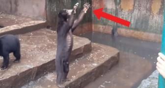 Der Horror-Zoo: die Bären betteln darum, dass die Touristen ihnen Essen zuwerfen