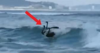 Een groep badgasten ontdekt een groep zwarte zwanen: wat te dieren vervolgens doen, doet iedereen versteld staan!