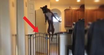 La padrona lo chiama: quando il cane si trova di fronte l'ostacolo compie un gesto atletico incredibile