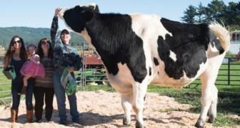 Maak kennis met Danniel, de koe die zo hoog op zijn poten staat dat het bijna angstaanjagend is!