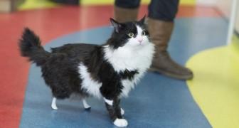 Deze poes kwam aan zonder achterpoten bij de dierenarts: moet je hem nu zien lopen dankzij z'n protheses.