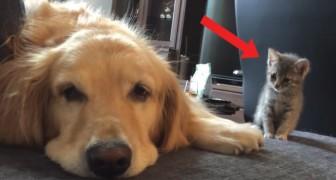 O cão está quase dormindo e não nota o gatinho: quando o vê começa a doçura!