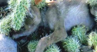 Un cucciolo di coyote finisce in un cactus: il salvataggio è difficile ma guardatelo dopo!