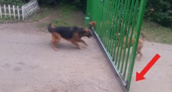 Des chiens séparés se chamaillent à travers une grille. Quand elle s'ouvre? Hilarant!