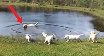 Een levensles met papa labrador: hij verliest zijn pups geen seconde uit het oog!