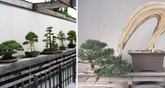 In questo museo nel cuore degli Stati Uniti è custodito il bonsai di 392 anni, sopravvissuto ad Hiroshima