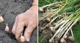 Cultivar el ajo en casa: es tan facil que no compraran mas aquel del supermercado