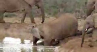 Female elephants rescue a drowning baby