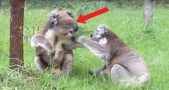 I koala sono dei teneroni? Sì, ma quando litigano... Guardate che carattere!