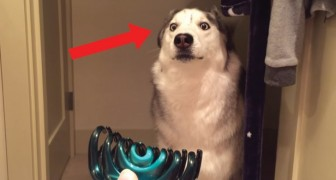 Husky vs haarklem: het wantrouwen van deze hond ten opzichte van dit accessoire is onverklaarbaar en... hilarisch!