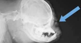 Questa è la radiografia di un carlino, e guardandola non possiamo che porci molte domande