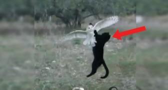 Eine Katze greift eine Schleiereule an? Nein, zwei Freunde die zusammen noch NIE ZUVOR Gesehenes anstellen