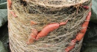 Met dit stappenplan kan je zelf in een pot 11 kilo aan zoete aardappelen kweken.