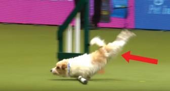 La Gara Di Agility Dog? Per Questo Cane è Più Importante Seguire Il Proprio Istinto!