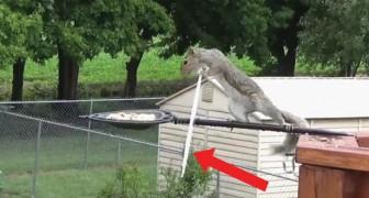 Missione mangiatoia: lo scoiattolo rischia più volte di cadere nel vuoto ma guardate come la spunta