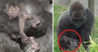 Gewoon een mama gorilla en haar jong in al hun zoetheid!