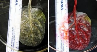 Tissu cardiaque à partir de feuilles d'épinards: cette méthode pourrait révolutionner la chirurgie de la transplantation