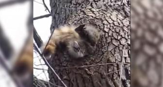 Lo scoiattolo cerca di rientrare a casa ma... Il pranzo è stato troppo abbondante!