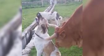 Als je naar de reactie van deze hond kijkt... zou je zelf ook bijna wel gelikt willen worden door een koe!