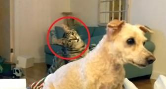 Het scheren van deze poedel heeft een bijzonder effect op de kat des huizes!