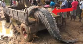 Een 5 meter lange en 1 ton wegende krokodil zit vast in een kanaal: deze reddingsoperatie is indrukwekkend!