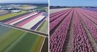 Beautiful Dutch flower fields in the Netherlands!
