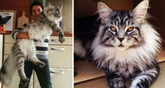 Gatti giganteschi: 12 foto (da 15 kg l'una!) per innamorarsi di loro una volta di più