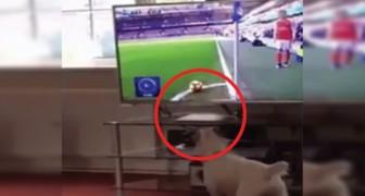 Il cane osserva con attenzione la palla ma quando parte il calcio d'angolo? DELUSIONE!