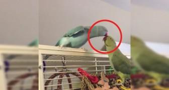 Il pappagallo Insegue l'altro per un motivo preciso. Quando lo raggiunge? Da sciogliersi!