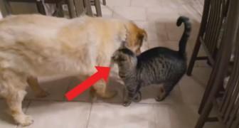 Dopo 1 mese separati, questo gatto rivede il suo amico cane (Cieco): la sua gioia è incontenibile