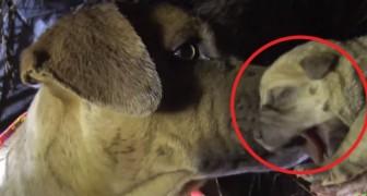Een moeder en haar 8 jongen zijn in nood: de kalme reddingswerkers weten het vertrouwen van de hond te winnen...