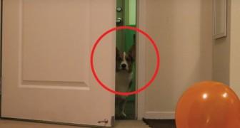 Een verjaardagsfeestje voor de hond? Het klinkt gek, maar de reactie van deze corgi brengt je op andere gedachten!