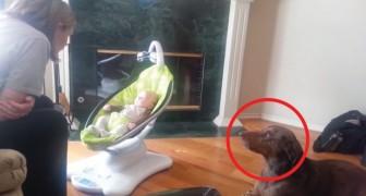 Een blik en de hond begint te janken: zijn jaloezie ten opzichte van het pasgeboren kindje is overduidelijk!