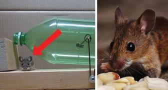 Comment se débarrasser des souris qui envahissent votre maison ... SANS les tuer!